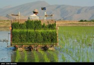 Rice fields in Kamfiruz District - Fars Province, Iran - (Photo credit: Erfan Samanfar for Tasnim News)