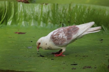 Pigeon standing on a giant water lily leaf, drinking through a small hole
