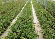 Rows of plantings in each greenhouse.