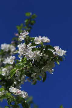 Apple blossoms. And the sky really was that blue!