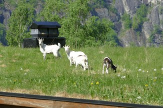 Goats grazing on the roof