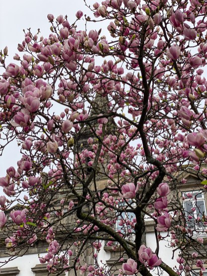 It is spring in Portugal. The magnolia trees were in bloom