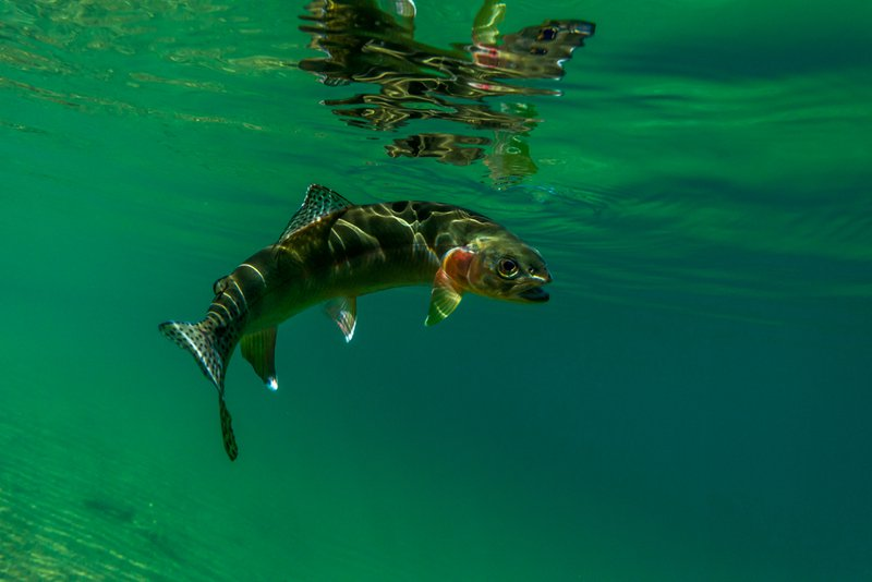 underwater view of a golden trout
