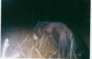 Everglades (Big Cypress) Black Bear