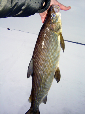How to Catch Whitefish