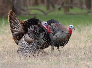 A pair of nice Gobblers!