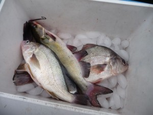 If you're keeping smaller fish to eat, make sure you pack along a cooler and ice to preserve the flavor and freshness.