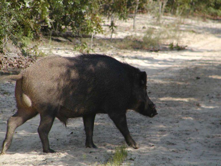 Florida Wild Hog