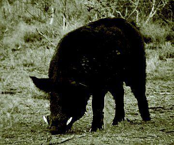 Dinner Island Hog Hunting