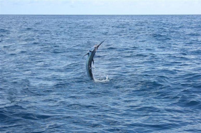 Florida Sailfish
