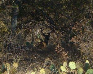 Big Deer Near Mason, TX are common