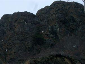 Alaska Dall Sheep
