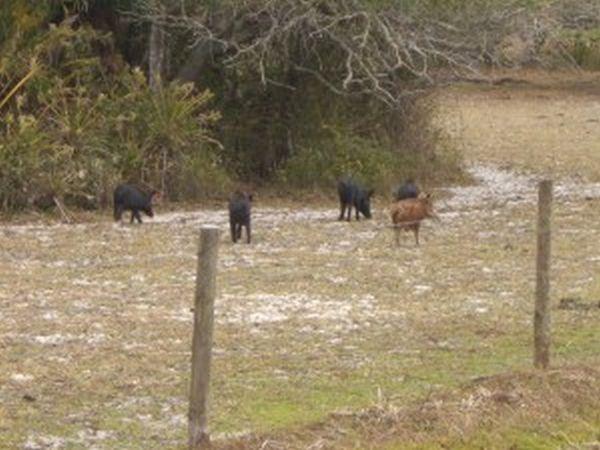 Hog Hunting