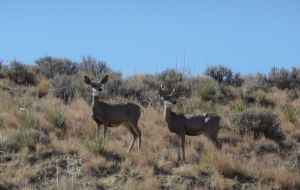 Mule Deer Picking up scent