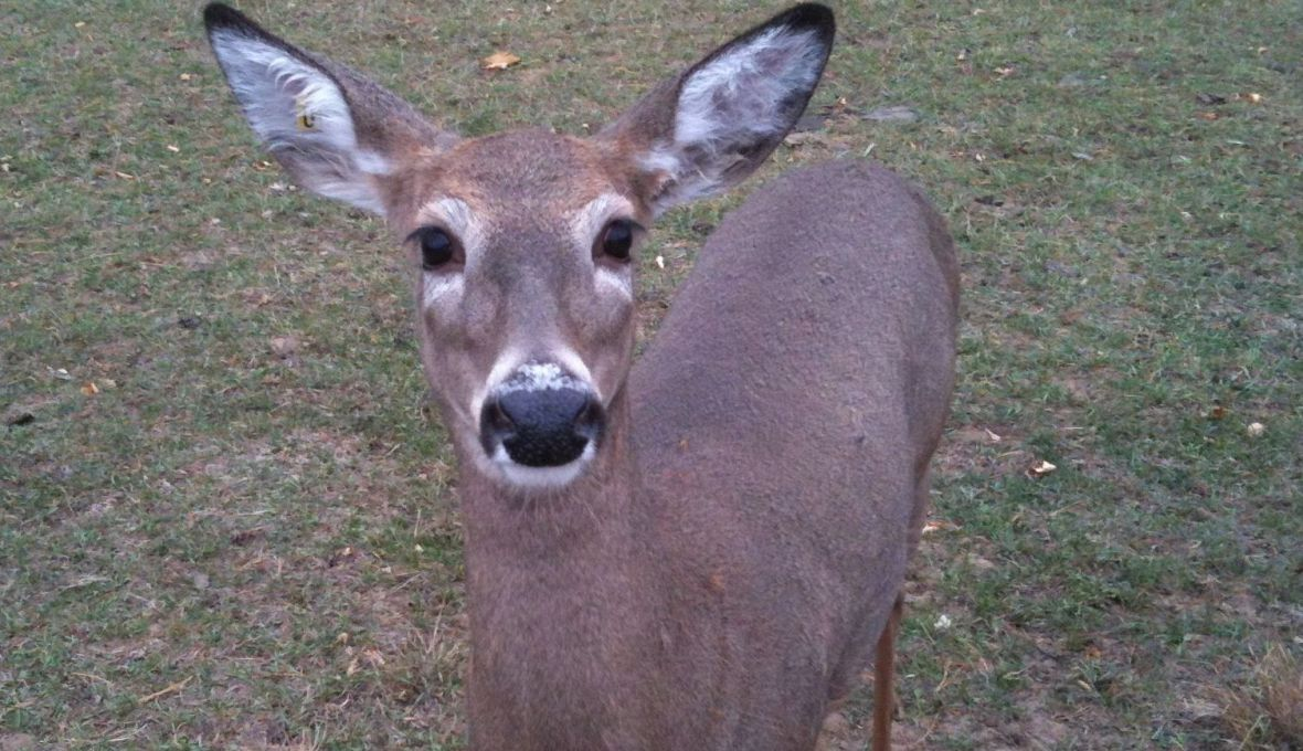 The Nose of a Whitetail Deer Knows!