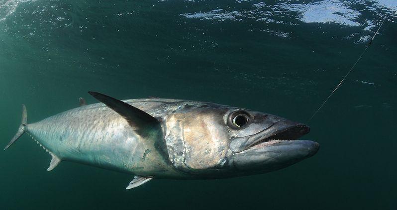 Tips on Catching Florida's King Mackerel