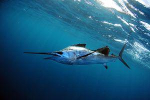 How to Catch Florida Sailfish