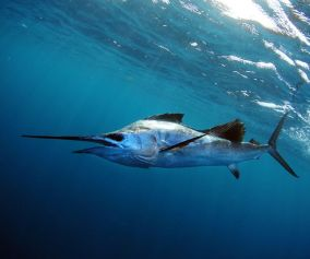 How to Catch Florida Sailfish