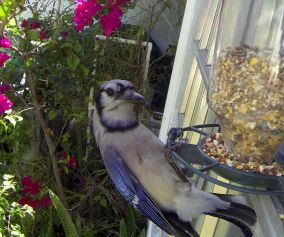 Bluejay on Birdfeeder