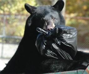 Black Bear in Garbage