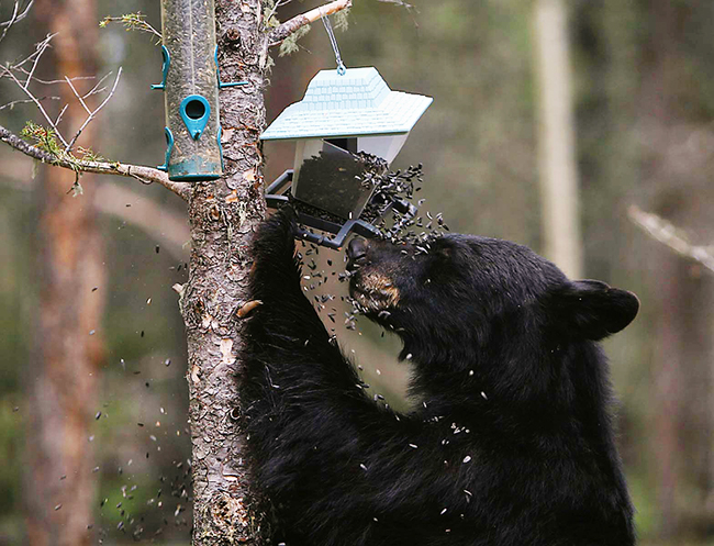 Black Bear and Bird Feeder