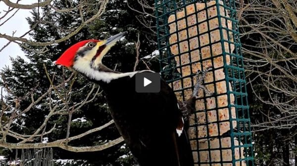 Biggest Woodpecker You Have Ever Seen!