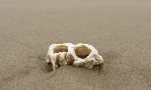 Thatched barnacle tests, Semibalanus cariosus