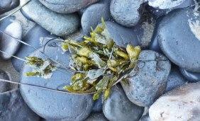 Rockweed, Fucus gardneri