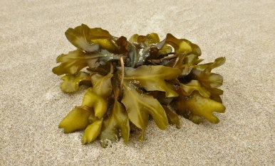 Fucus in the drift line
