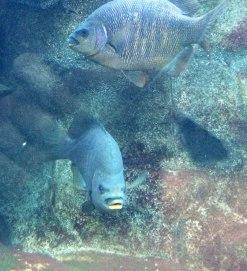 Black perch, Embiotoca jacksoni | Monterey Bay Aquarium