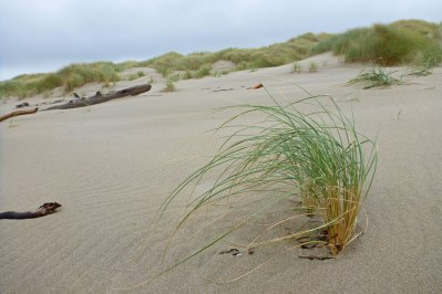 A pioneering dunegrass, Elymus