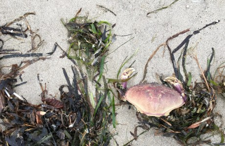 Drift eelgrass, Zostera, and Dungeness crab carapace with pinching claws