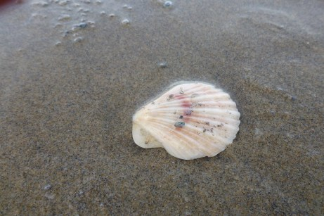 Pink scallop, Chlamys