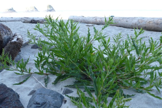 Willow dock, Rumex, pioneering onto the beach