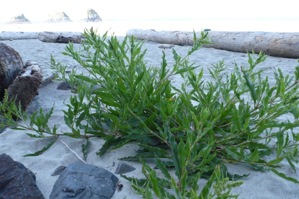Willow dock, Rumex, pioneering onto the beach