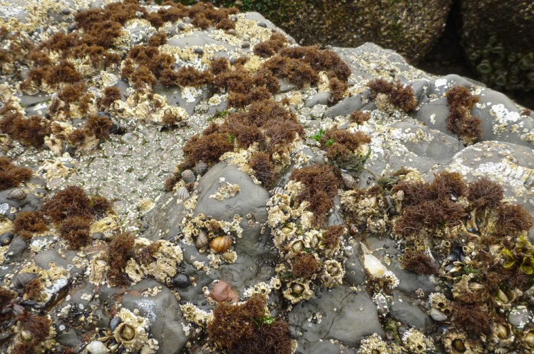 Exposed rock with barnacles, snails, and Endocladia