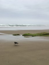 Crow flying off with a Dungeness crab leg inn it's bill