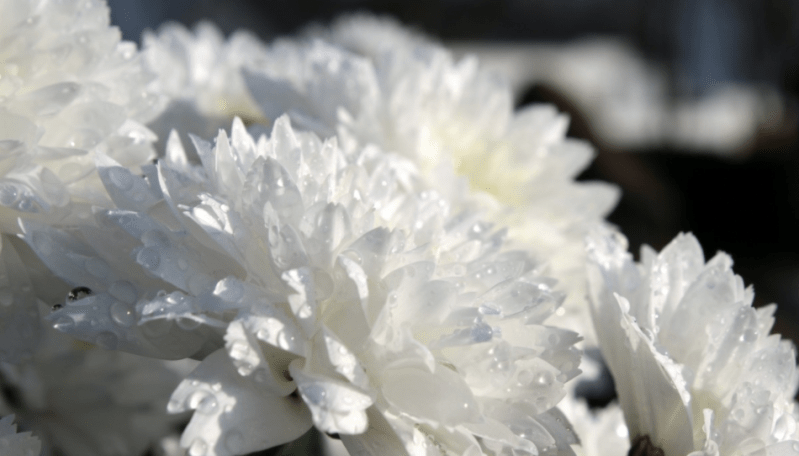 An arrangement of white chrysanthemums.