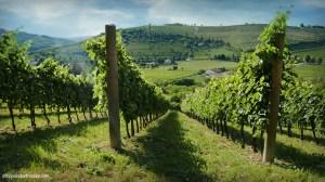 The vineyards of Valnogaredo, Colli Euganei (PD), Italy