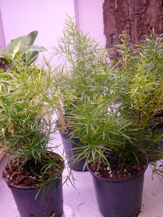 Asparagus Fern Plumosa Amp Foxtail The Palm Room