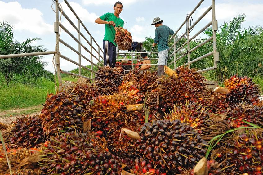 palm oil smallholders