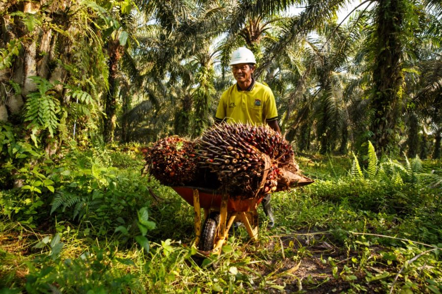 oil palm farmer in covid pandemic era