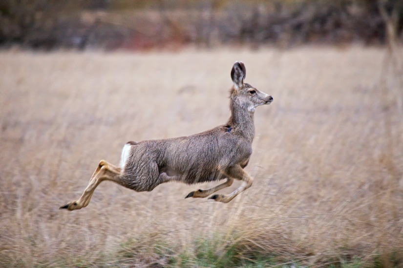 Mule Deer in Flight by Gary Hamburgh - All Rights Reserved - ISO 1600  f/5.6  1/250  400 mm