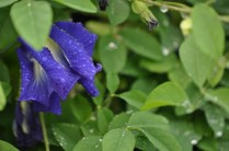 """The colorful """"pea vine"""" named because it makes edible pods that look like pea pods"""