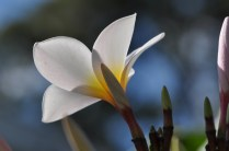Lets try the macro lens on the plumeria