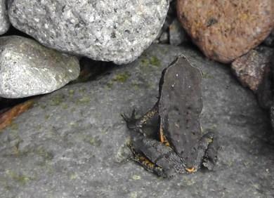 Joel found a little black frog in the rocks.