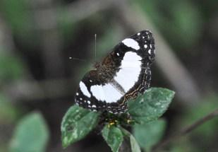 Panama Bugs 1