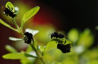 I have this herb that smells like peppermint, and for some reason the little black bees seem to love it.
