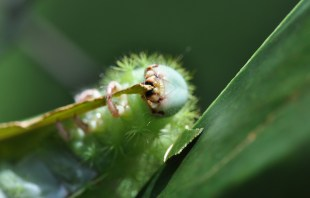 The caterpillar has a sideways mouth.