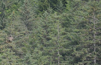 There is an eagle nest with a chick on the left side of this photo, and an adult eagle is in the tree on the right. (look for the white head)